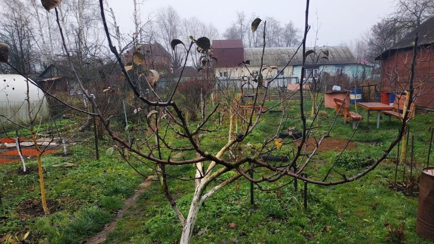 сроки обрезки яблонь осенью