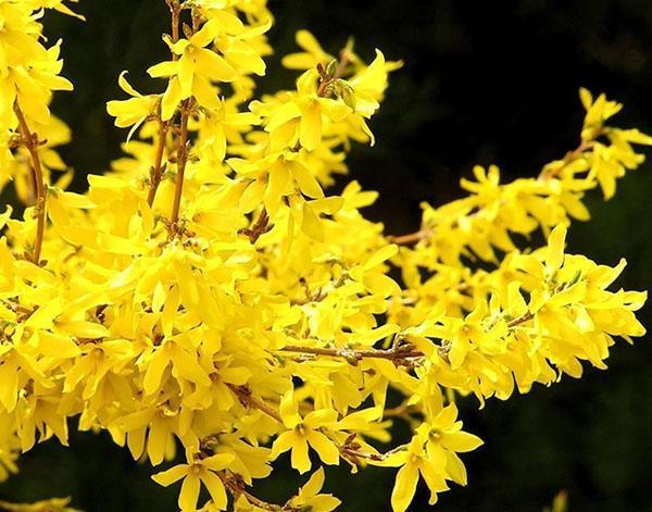 цветение форзиции ранней весной