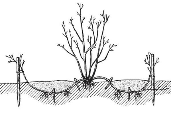 размножение дерена отводками