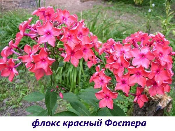 Флокс красный Фостера