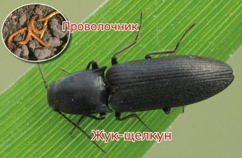 проволочник и жук