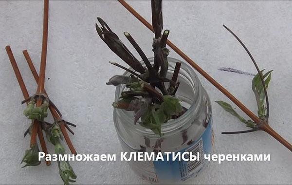 подготовка черенков