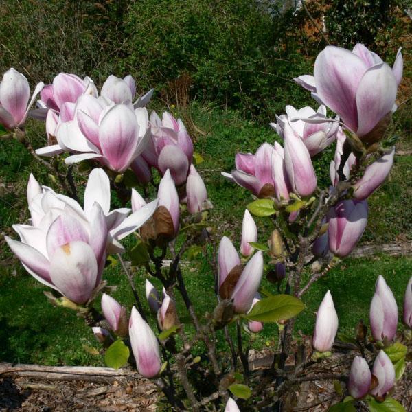 цветет магнолия в саду