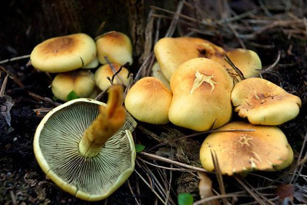 Серно-желтый гриб