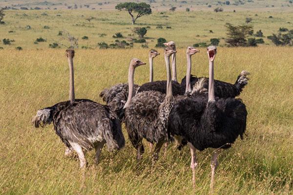 содержание страусов