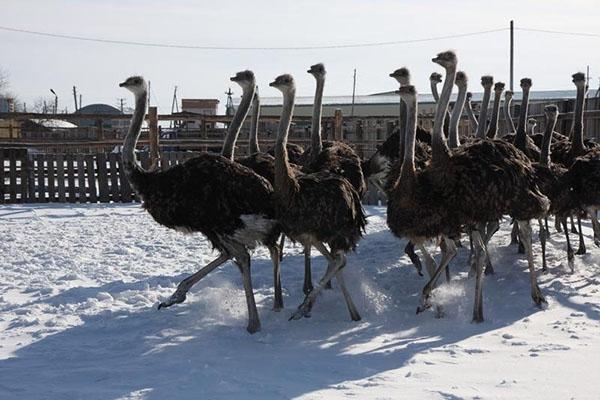 страусы зимой в загоне