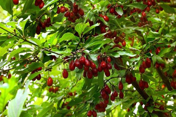полезные ягоды в саду