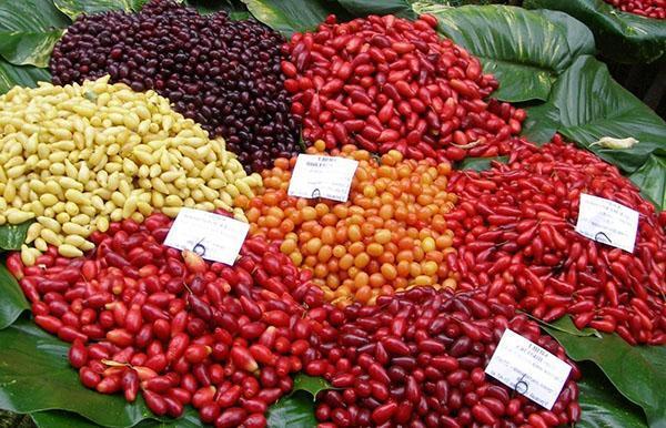 ягоды кизила разного цвета