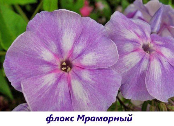 Флокс Мраморный