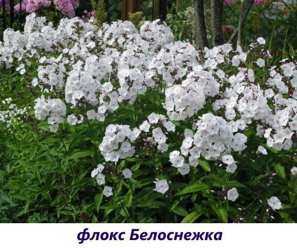 Сорта метельчатых флоксов – лучшие виды долгоцветущих и ярких растений