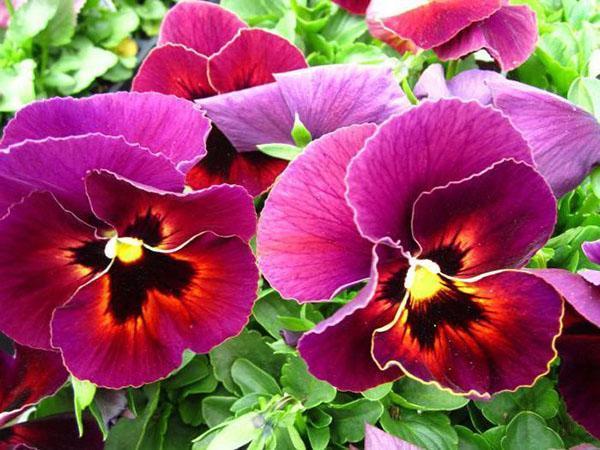 нежное цветение виолы
