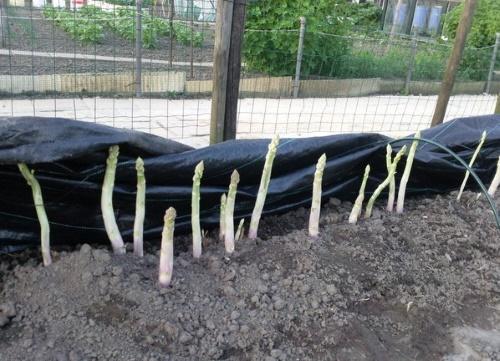 Как вырастить спаржу - Сады Сибири