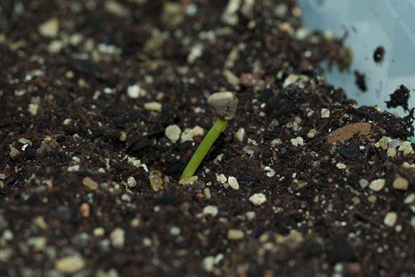 всходы семян шеффлеры