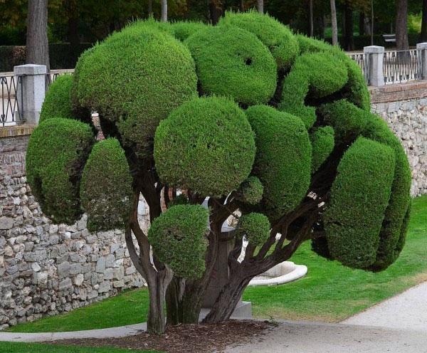 виды и сорта кипариса для сада