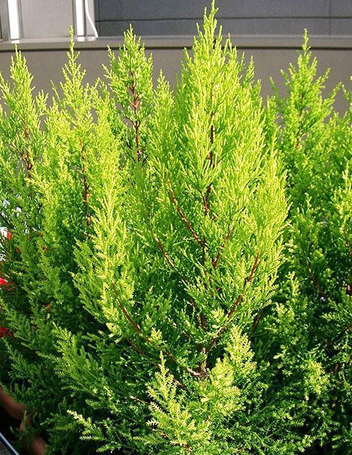 Кипарис вечнозеленый Аполлон