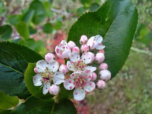 цветы кизильника