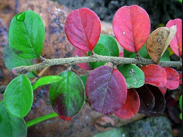 листья кизильника осенью