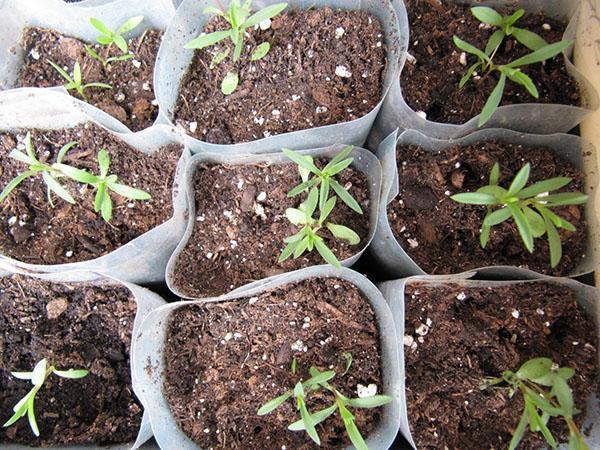 выращивание рассады эстрагона