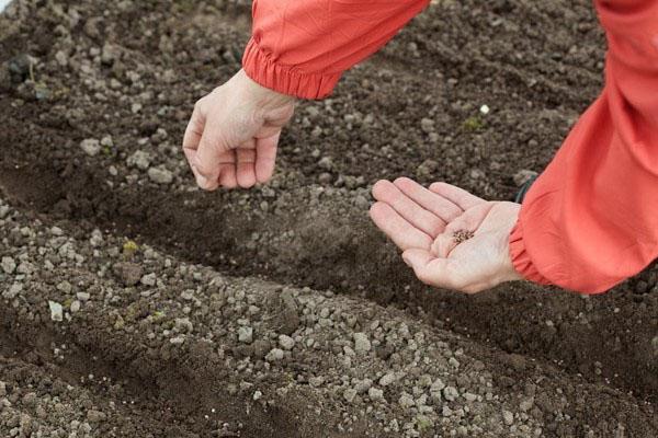 посев в открытый грунт