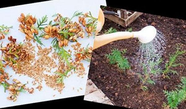 выращивание туи из семян