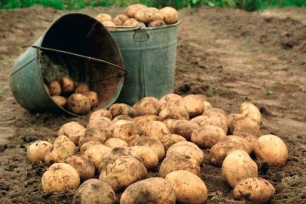 защита картофеля от проволочника