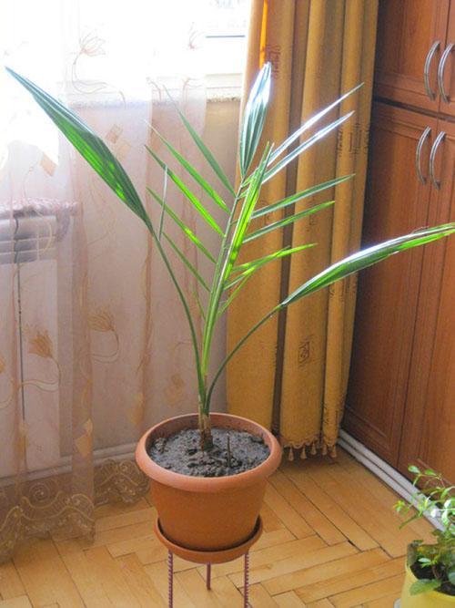 пальма после пересадки
