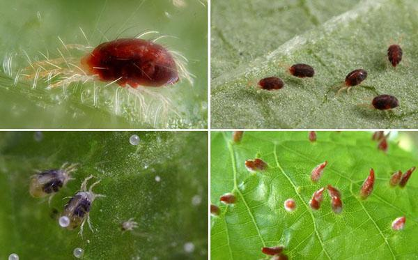размножение клеща паутинного
