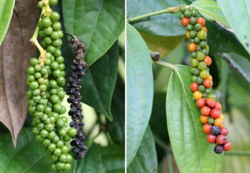 как растет черный перец