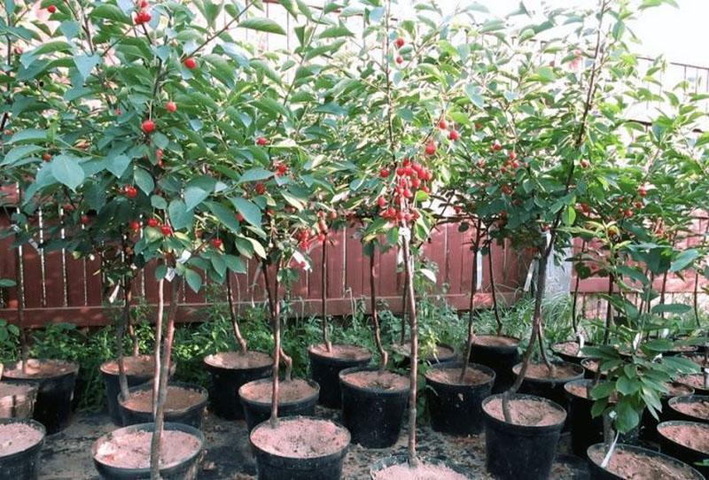 саженцы вишни с закрытой корневой
