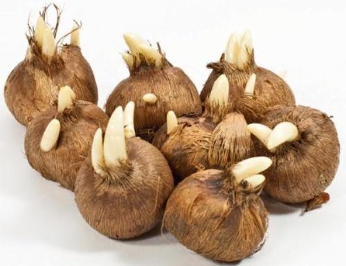 луковицы крокуса