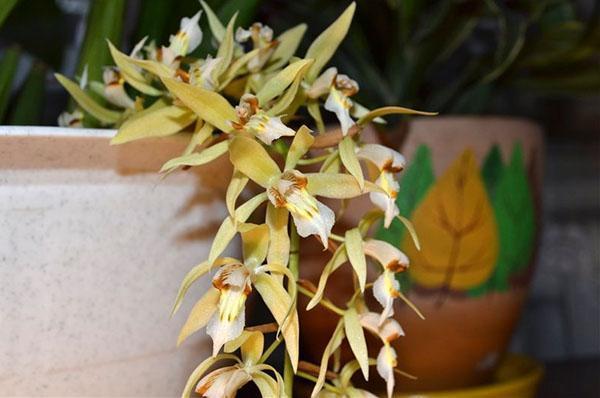 орхидея целогина Рохуссена