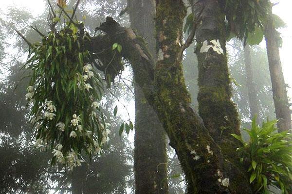 орхидея целогина в дикой природе