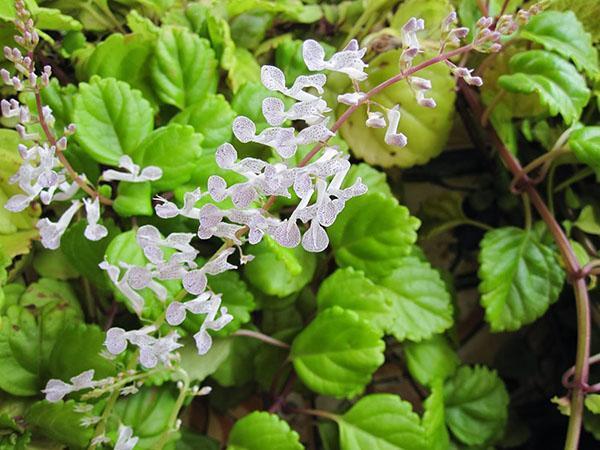 цветет плектрантус