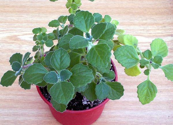 ампельное растение