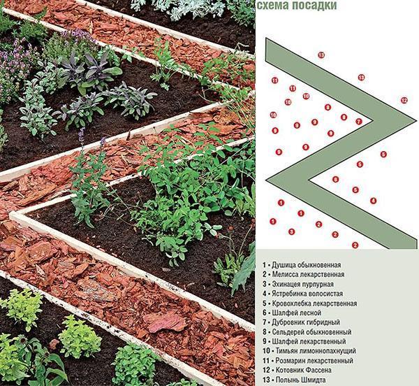 схема посева пряных трав