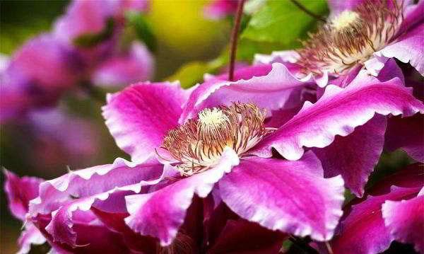 яркое цветение клематисов