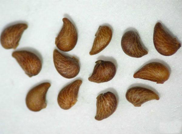 семена лапчатки кустарниковой