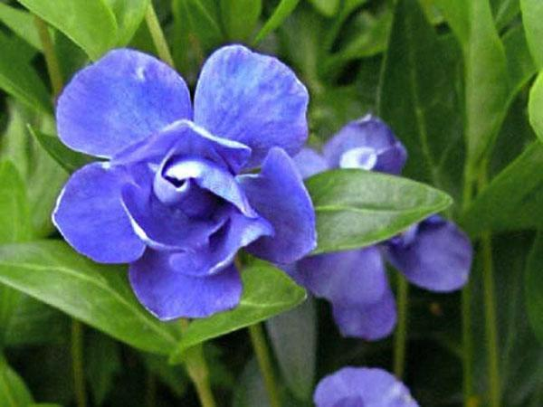 барвинок Azurea Flore Pleno