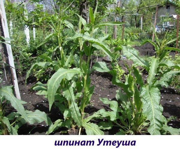Многолетний шпинат Утеуша