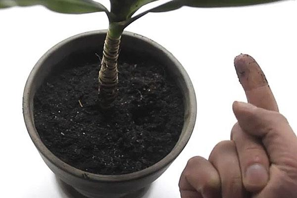 Пальмы выращиваемые в домашних условиях