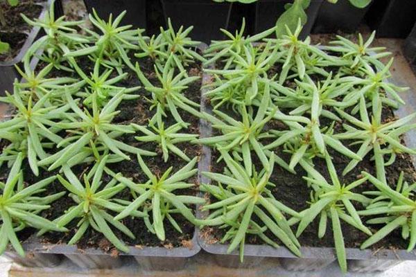 выращивание портулака  рассадой