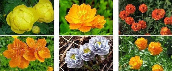 цветок купальница и ее разновидности