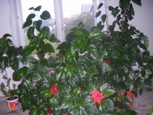 Какая земля нужна для китайской розы