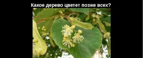какое дерево цветет позже всех