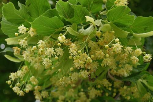 цветение липы