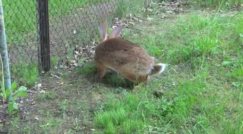 кролик на выпасе