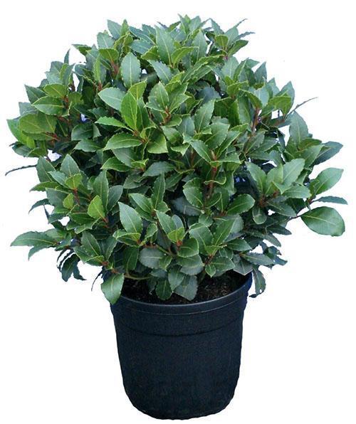 взрослое растение лавра