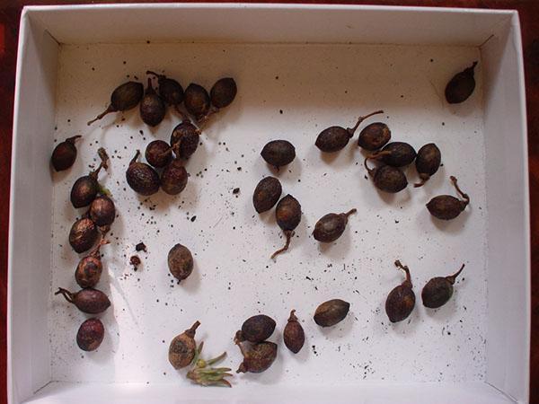 проверка качества семян лавра