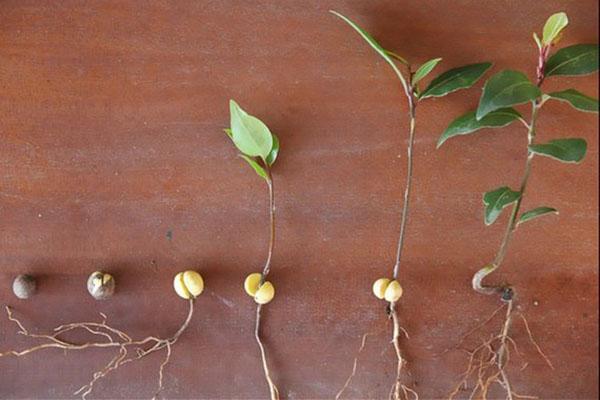 этапы развития сеянцев