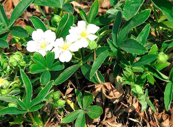 цветет лапчатка белая